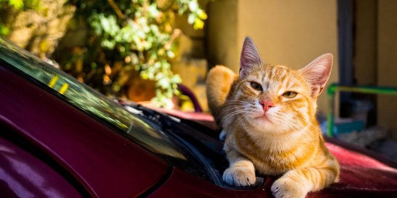 Кошка села на машину — приметы автомобилиста